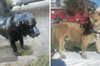 Мальчики спасли пёсика, покрытого смолой