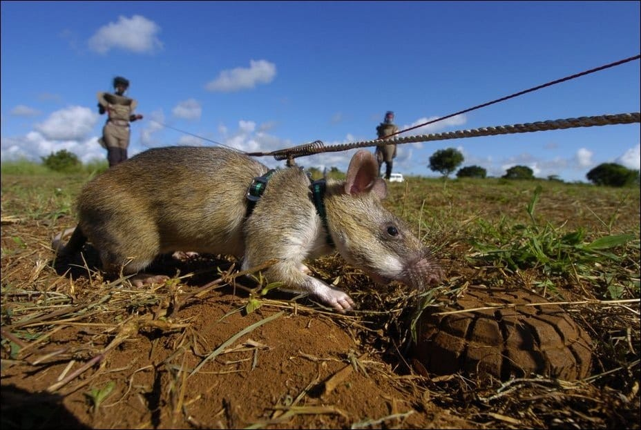 Крыса сапёр и мина