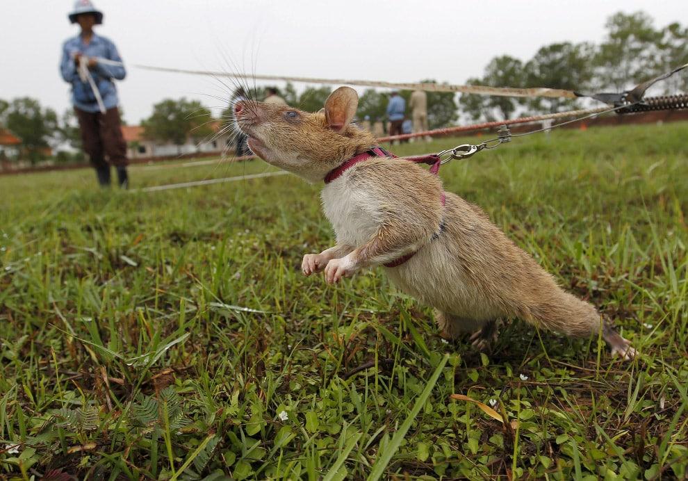Крыса сапёр учуяла мину