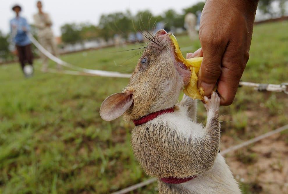 Крыса сапёр обедает