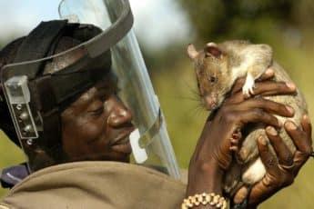 Крыса сапёр и минер