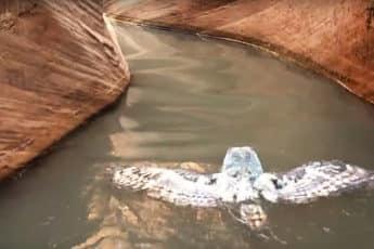 плывущая сова