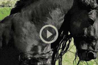 Фризская порода лошадей